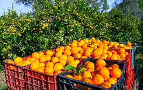 citrus_orange_harvest_near_perianna_andalucia_spain_photography_andrea_EF3PYW_568300280