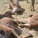 نفوق-إبل-مغربية-بالصحراء-3